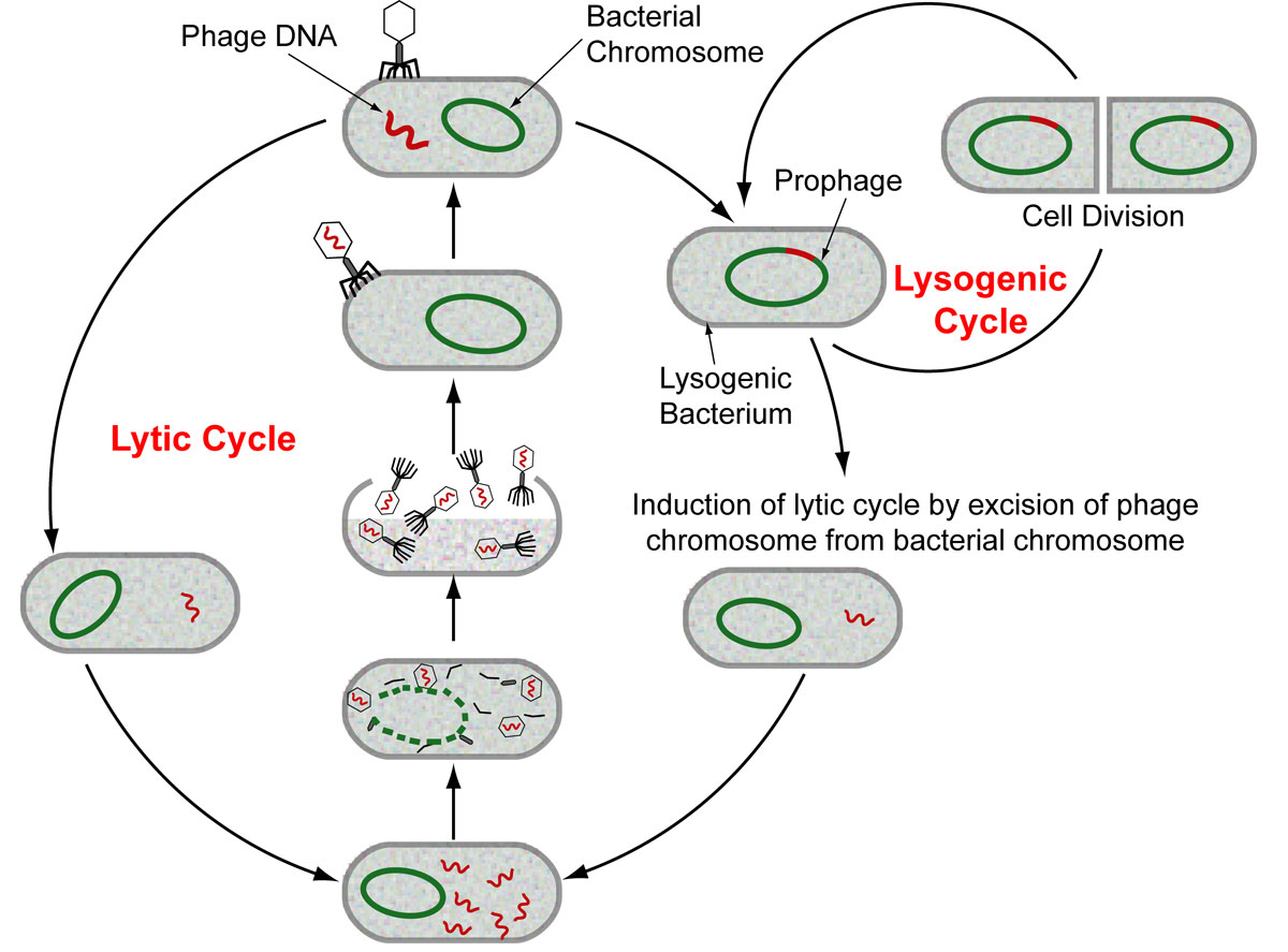 lytic cycle essay Special issue recent progress in bacteriophage research  or an obligatory lytic phage (t7), after which further dynamics in the biofilm were monitored as such, it was found that a  required to direct the reaction towards excision and to prevent re-integration of the prophage genome when entering a lytic cycle kple1, hk620 and numerous.