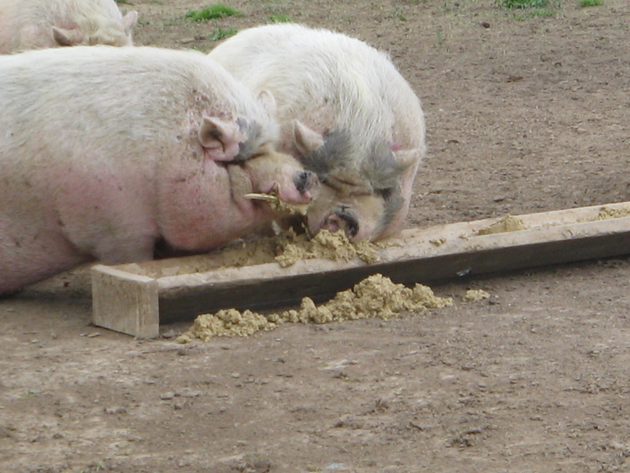 Two Pigs Eating from a trough