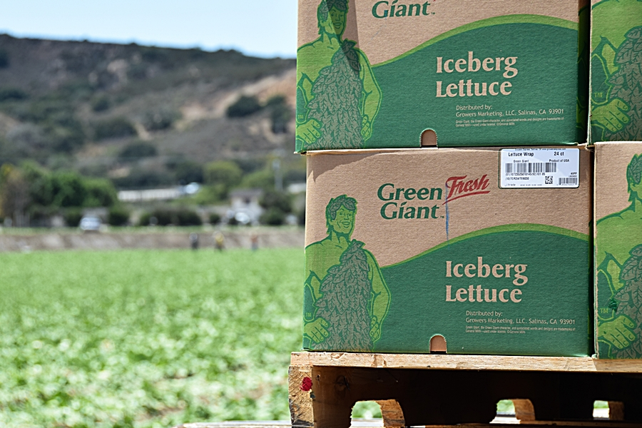 Freshly cut heads of iceberg lettuce are boxed and loaded onto a flatbed truck, directly in the fields, ready for shipping